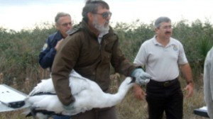In December 2008, a U.S. Fish and Wildlife Service officer takes an emaciated whooping crane in for emergency care. The bird did not survive.  (U.S. Fish and Wildlife Service)