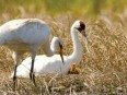 whooping-crane-small